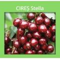 CIRES STELLA
